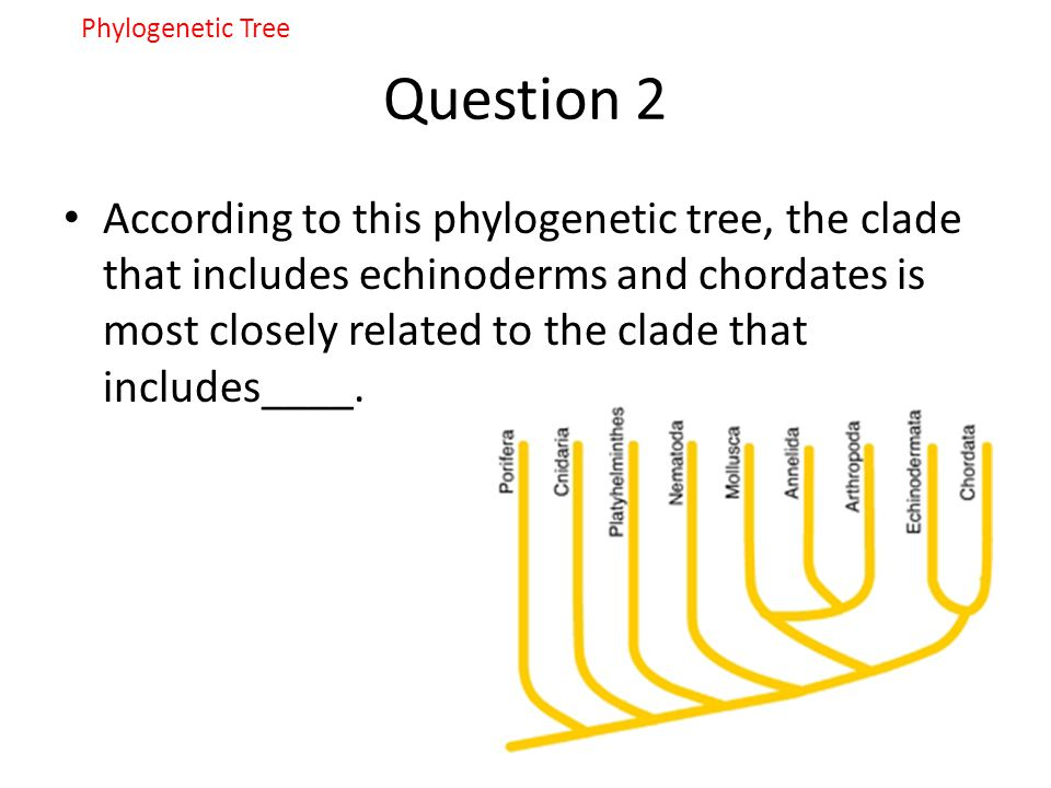 Question 2 According to this phylogenetic tree, the clade that includes echinoderms and chordates is most closely related to the clade that includes__