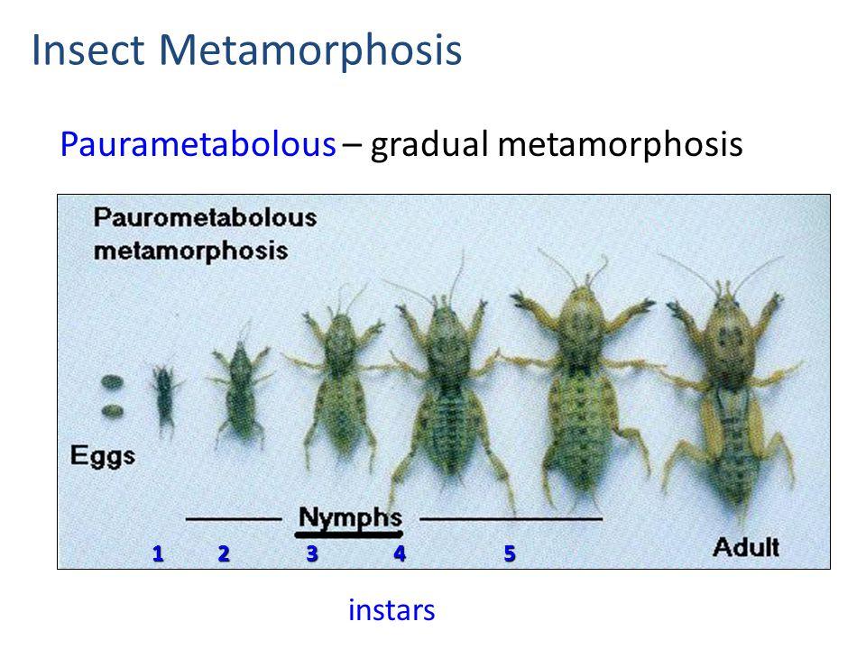 Paurametabolous – gradual metamorphosis Insect Metamorphosis instars 1 2 3 4 5 1 2 3 4 5