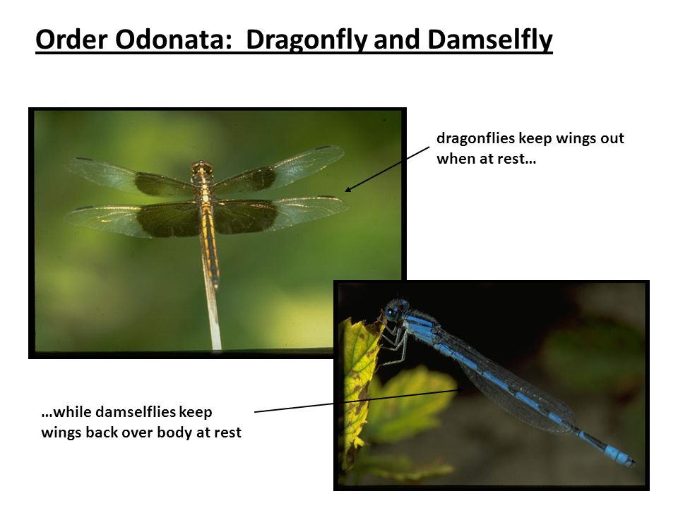 Order Odonata: Dragonfly and Damselfly dragonflies keep wings out when at rest… …while damselflies keep wings back over body at rest