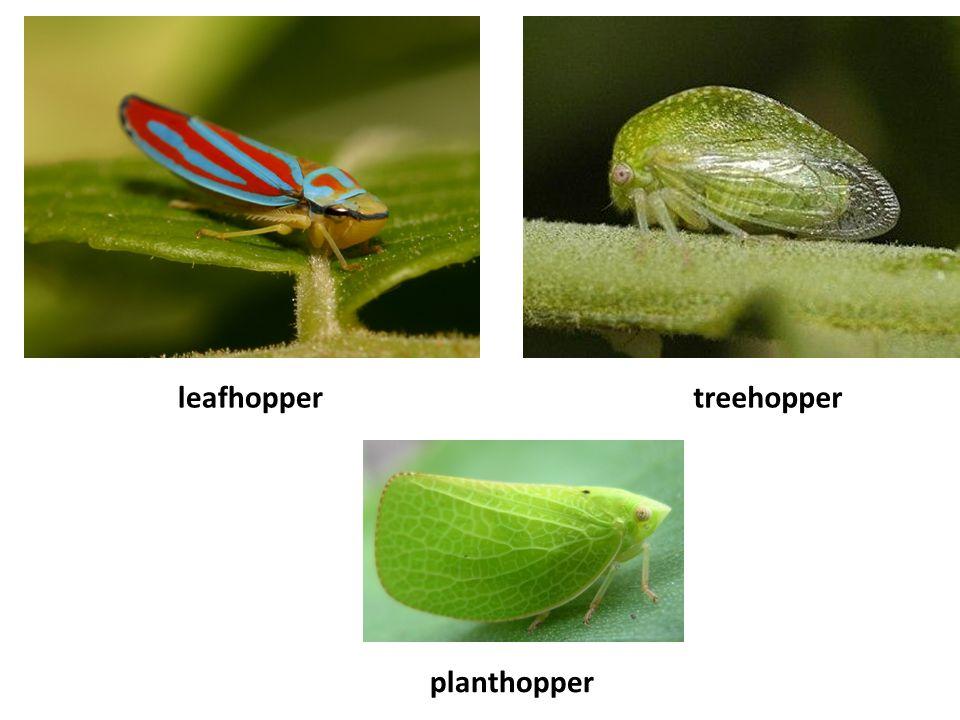 leafhoppertreehopper planthopper