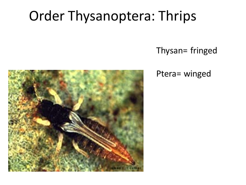 Order Thysanoptera: Thrips Thysan= fringed Ptera= winged