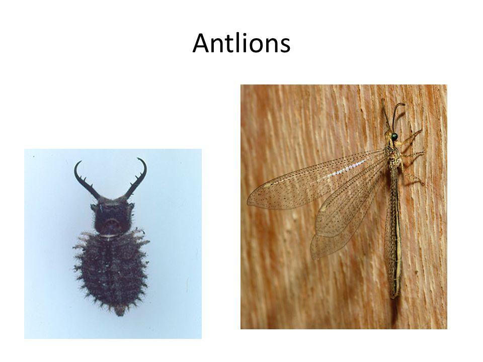 Antlions