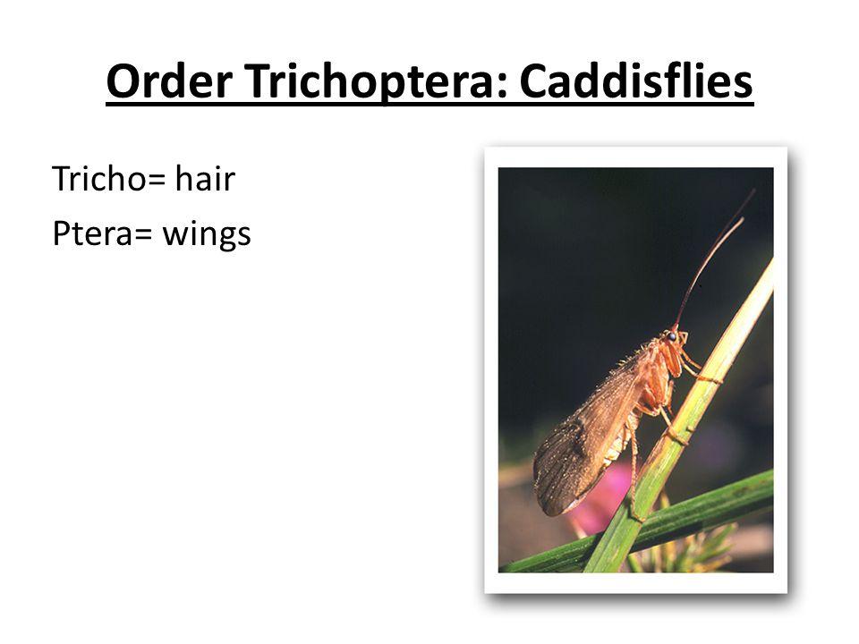 Order Trichoptera: Caddisflies Tricho= hair Ptera= wings