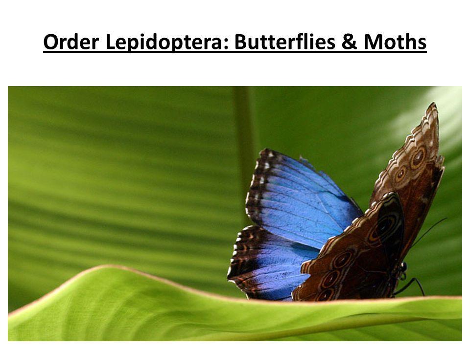Order Lepidoptera: Butterflies & Moths