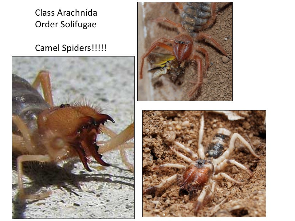 Class Arachnida Order Solifugae Camel Spiders!!!!!