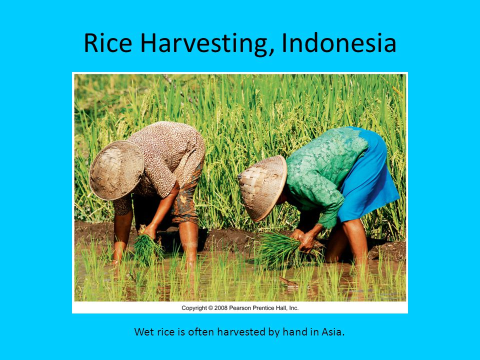 Rice Harvesting, Indonesia Wet rice is often harvested by hand in Asia.