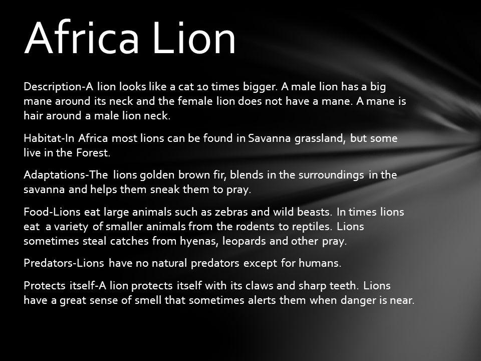 Description-A lion looks like a cat 10 times bigger.