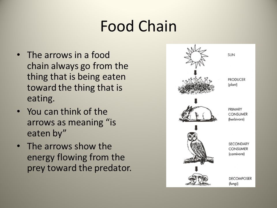 Food Chain The arrows in a food chain always go from the thing that is being eaten toward the thing that is eating. You can think of the arrows as mea