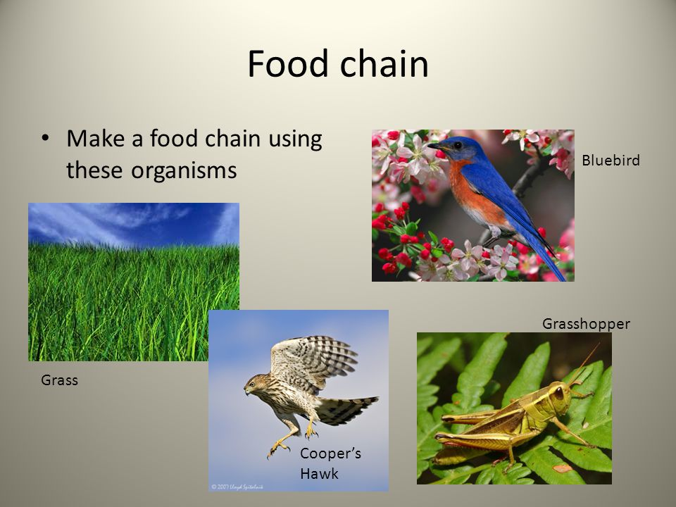 Food chain Make a food chain using these organisms Grass Cooper's Hawk Grasshopper Bluebird