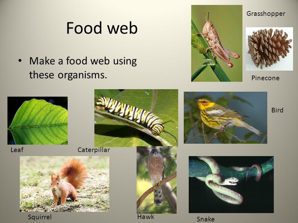 Food web Make a food web using these organisms. LeafCaterpillar Squirrel Hawk Snake Bird Grasshopper Pinecone
