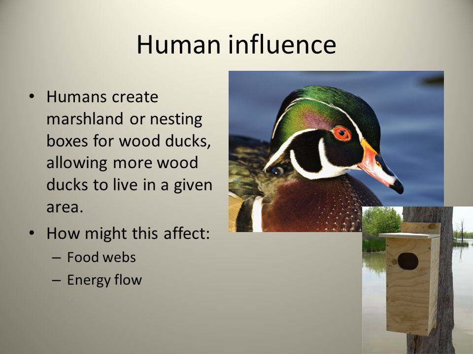 Human influence Humans create marshland or nesting boxes for wood ducks, allowing more wood ducks to live in a given area. How might this affect: – Fo