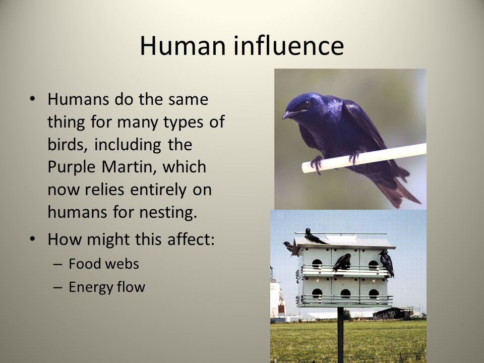 Human influence Humans do the same thing for many types of birds, including the Purple Martin, which now relies entirely on humans for nesting. How mi