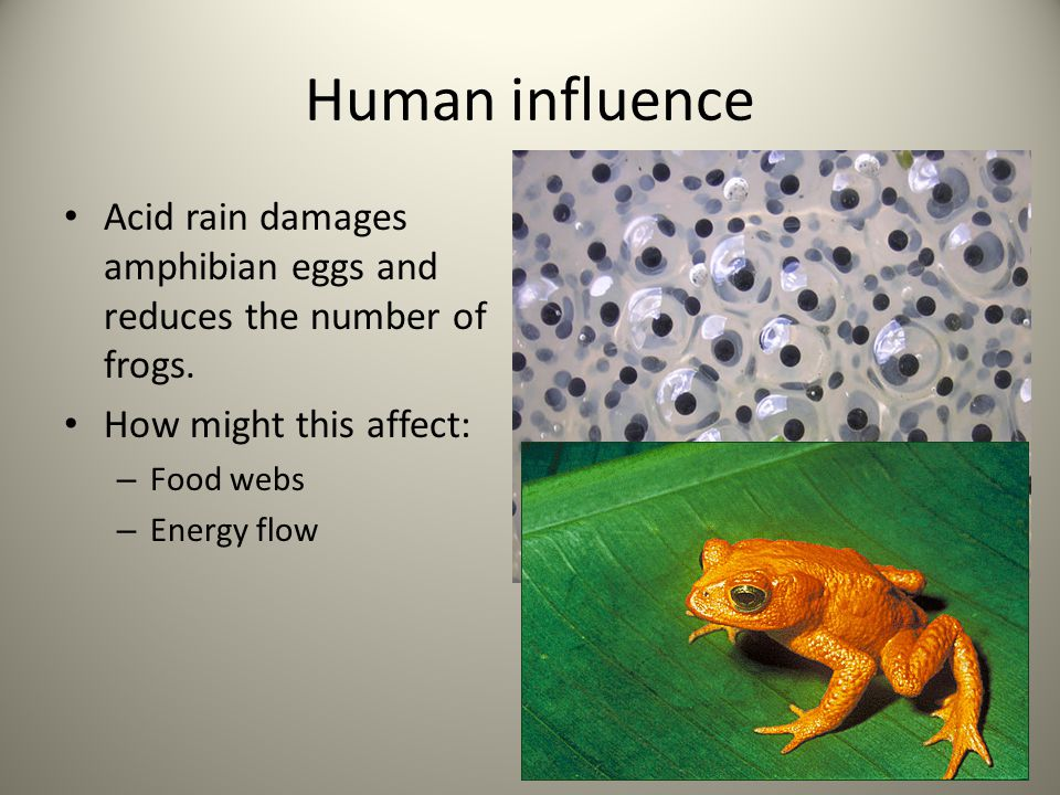 Human influence Acid rain damages amphibian eggs and reduces the number of frogs. How might this affect: – Food webs – Energy flow