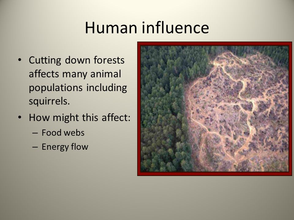 Human influence Cutting down forests affects many animal populations including squirrels. How might this affect: – Food webs – Energy flow
