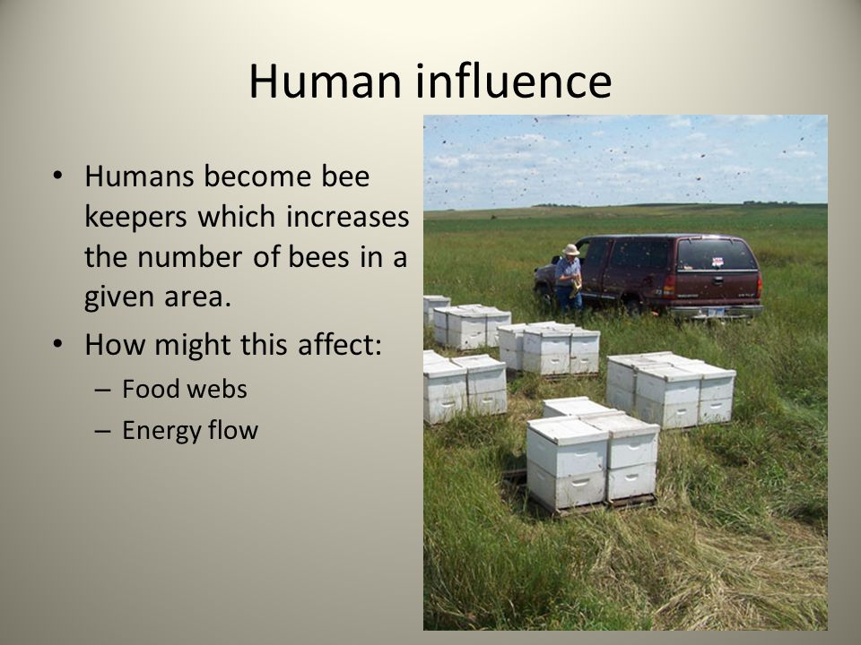 Human influence Humans become bee keepers which increases the number of bees in a given area. How might this affect: – Food webs – Energy flow