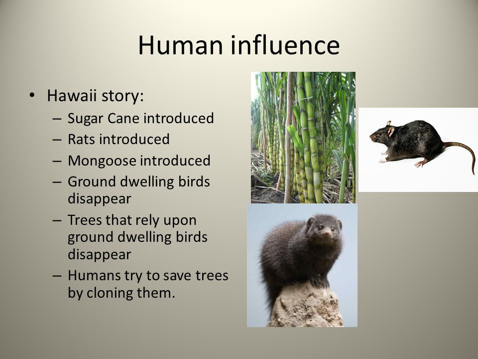 Human influence Hawaii story: – Sugar Cane introduced – Rats introduced – Mongoose introduced – Ground dwelling birds disappear – Trees that rely upon