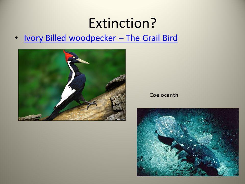 Extinction? Ivory Billed woodpecker – The Grail Bird Coelocanth