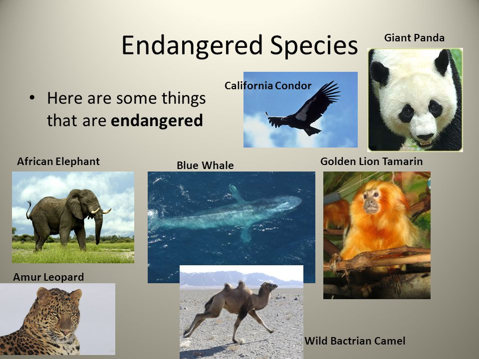 Endangered Species Here are some things that are endangered African Elephant Blue Whale Golden Lion Tamarin Amur Leopard Giant Panda Wild Bactrian Cam