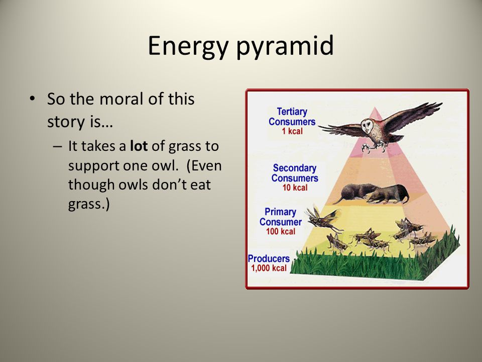 Energy pyramid So the moral of this story is… – It takes a lot of grass to support one owl. (Even though owls don't eat grass.)