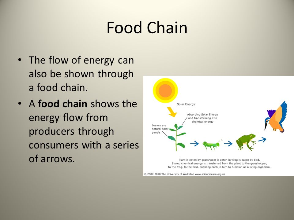 Food Chain The flow of energy can also be shown through a food chain. A food chain shows the energy flow from producers through consumers with a serie