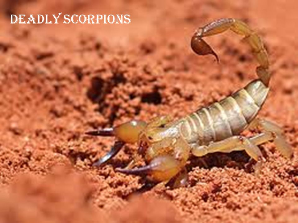 Deadly Scorpions