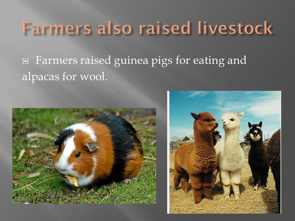  Farmers raised guinea pigs for eating and alpacas for wool.
