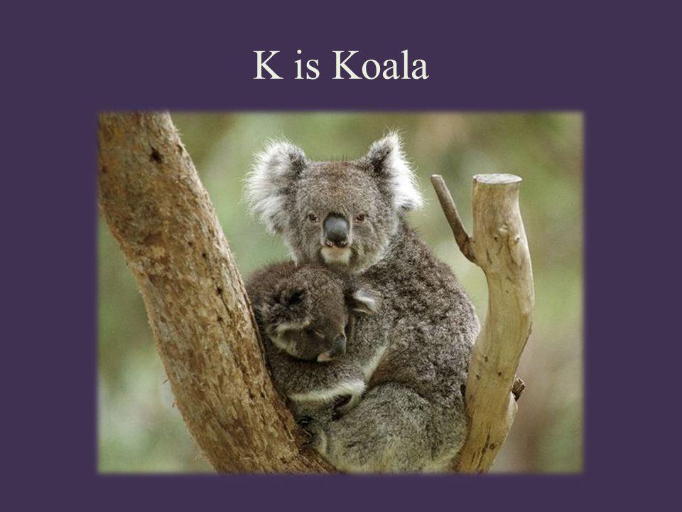 K is Koala