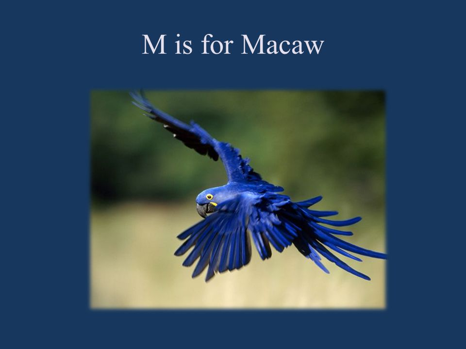 M is for Macaw