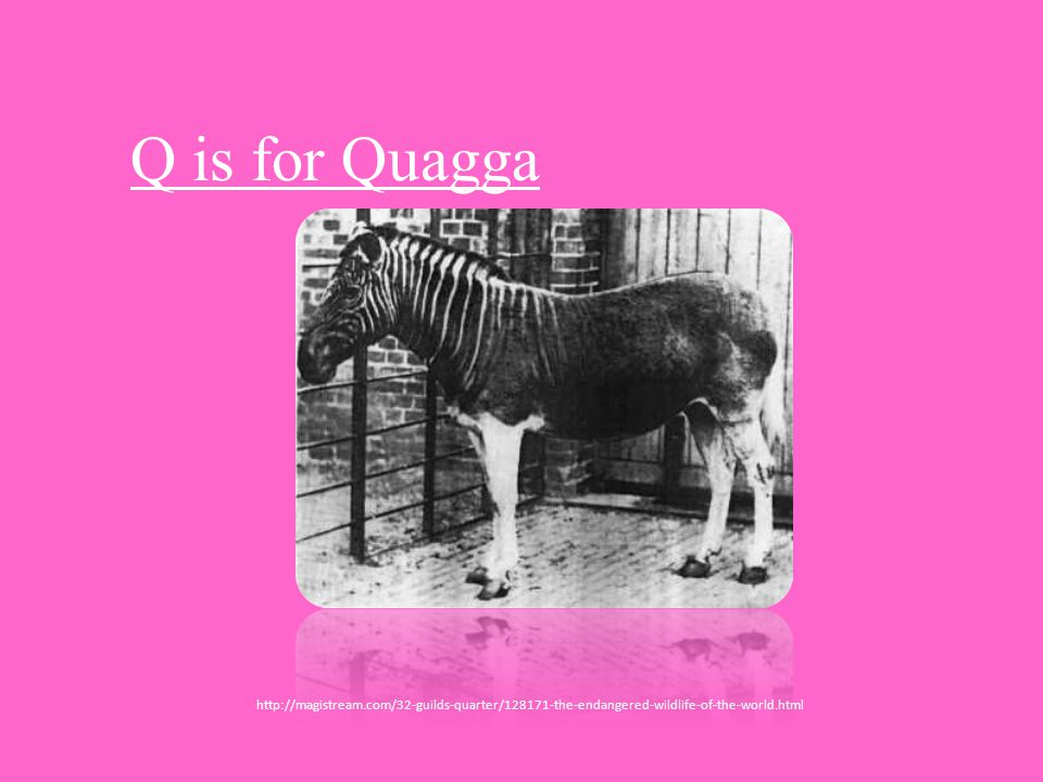 Q is for Quagga http://magistream.com/32-guilds-quarter/128171-the-endangered-wildlife-of-the-world.html