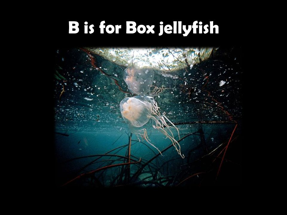 B is for Box jellyfish