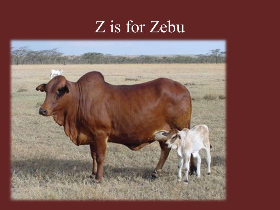 Z is for Zebu