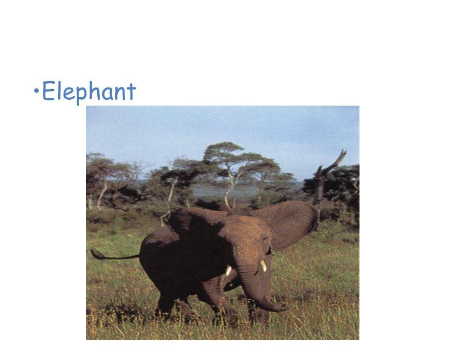 Animals of the African Savanna Elephant