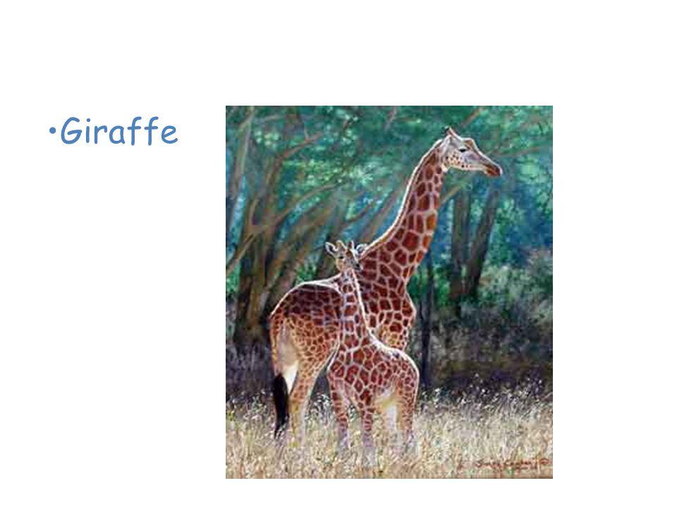 Animals of the African Savanna Giraffe