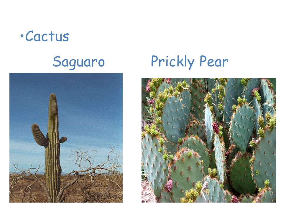Plants of the Desert Cactus SaguaroPrickly Pear
