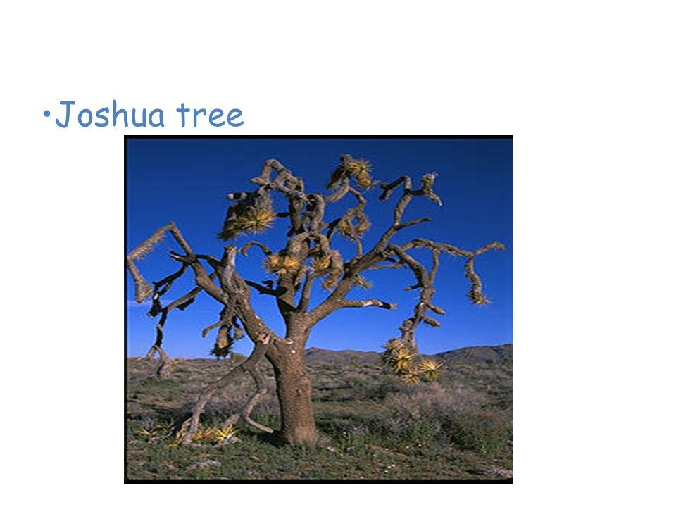 Plants of the Desert Joshua tree