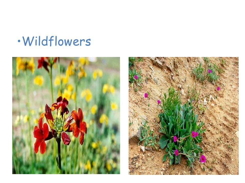 Plants of the Desert Wildflowers