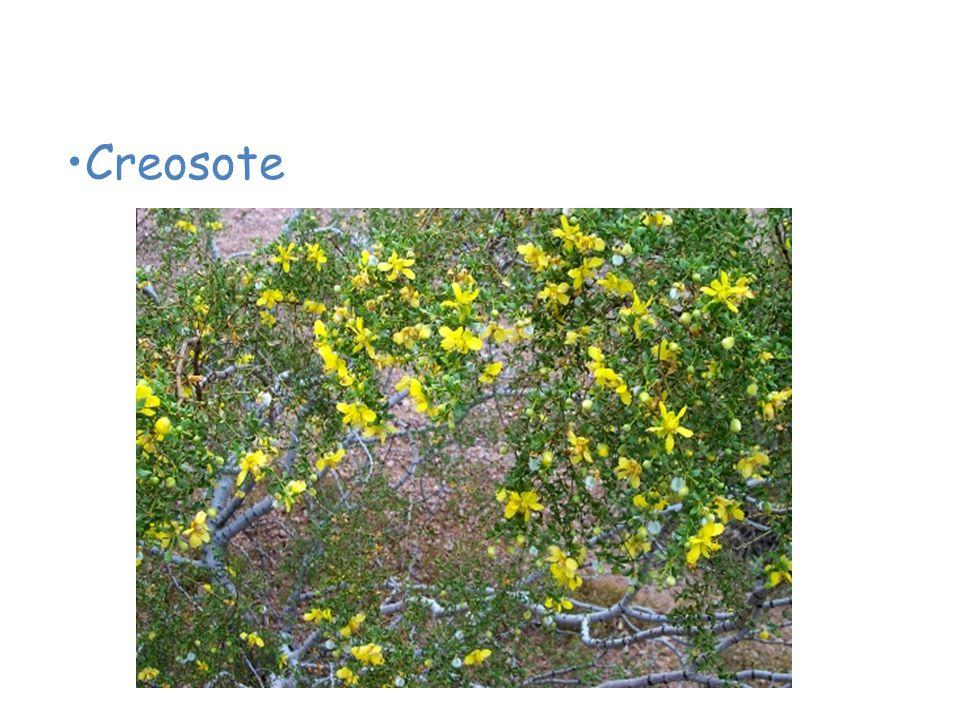 Plants of the Desert Creosote