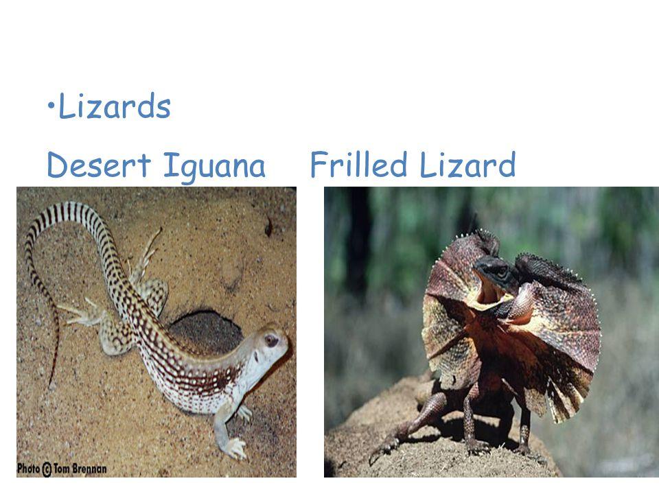 Animals of the Desert Lizards Desert IguanaFrilled Lizard