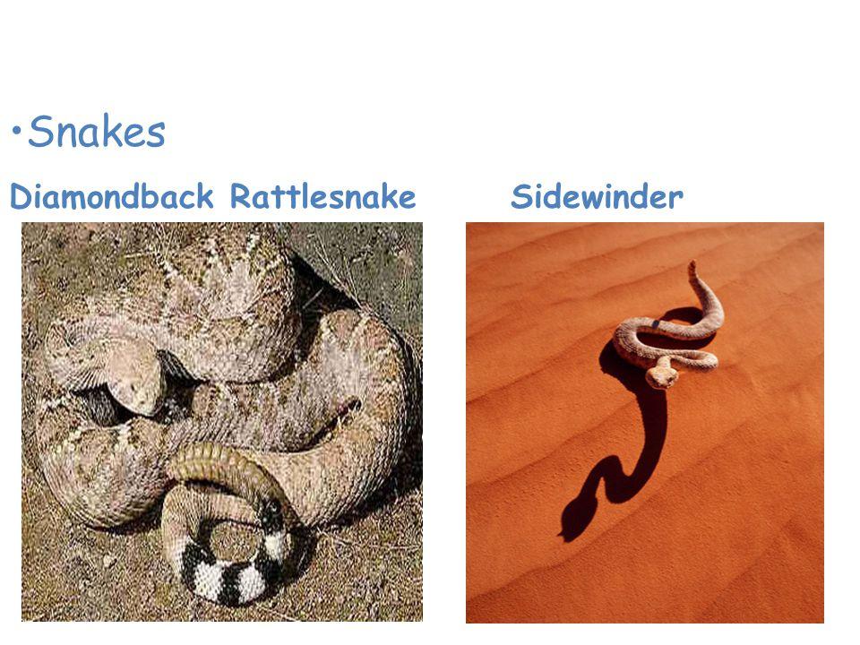 Animals of the Desert Snakes Diamondback Rattlesnake Sidewinder