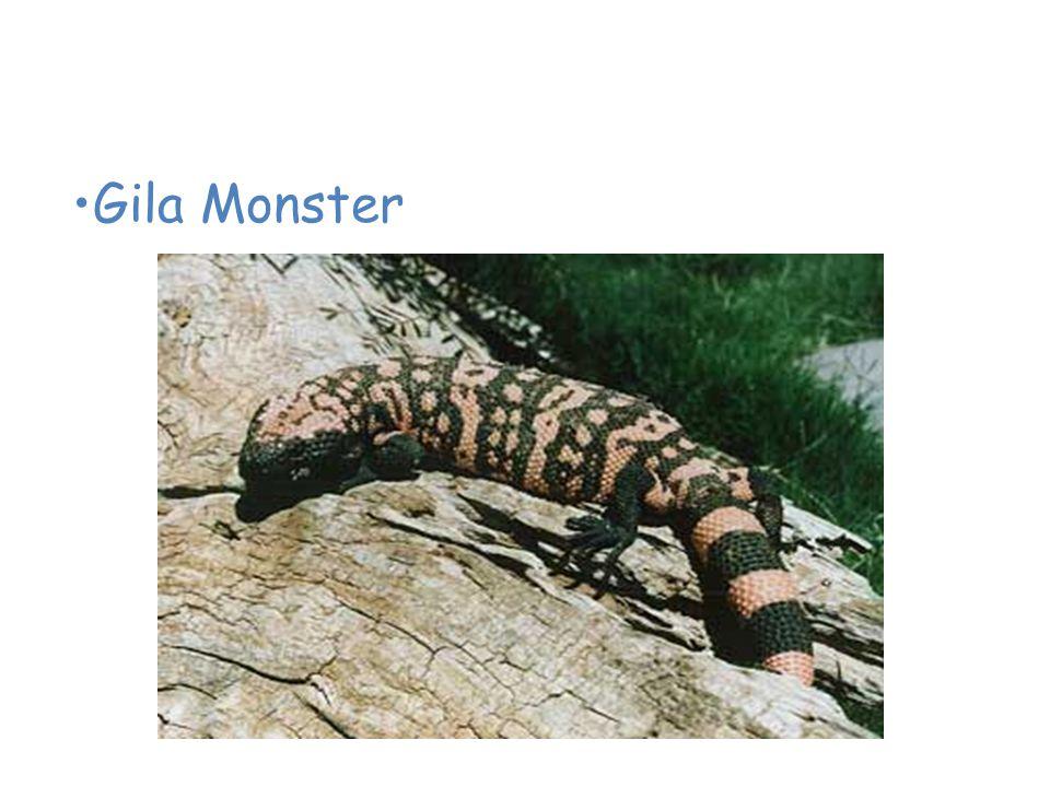 Animals of the Desert Gila Monster