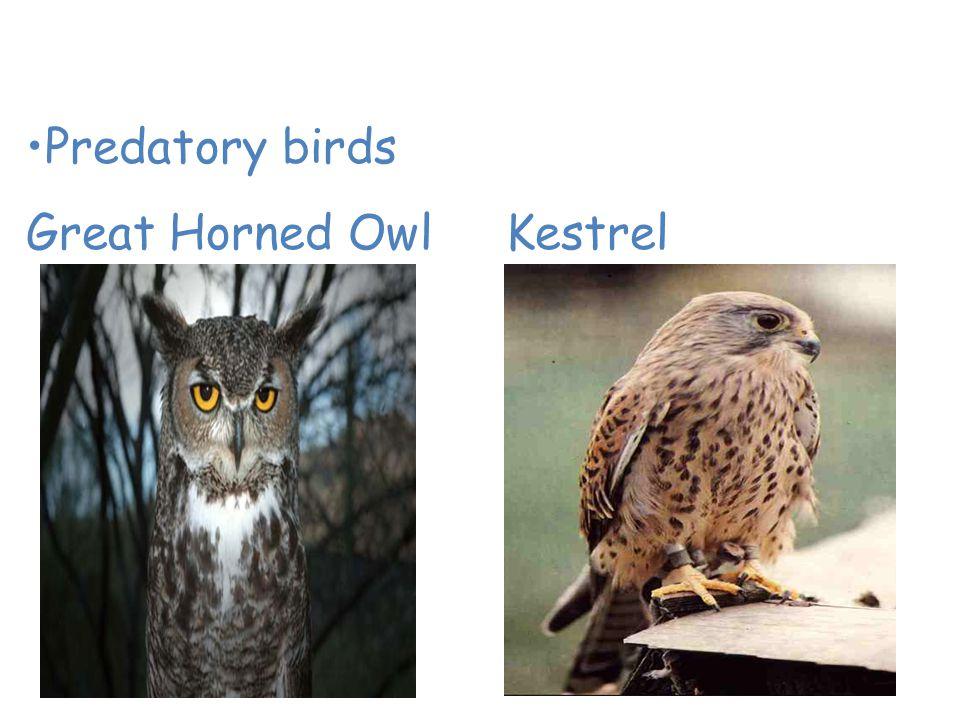 Animals of the Desert Predatory birds Great Horned OwlKestrel
