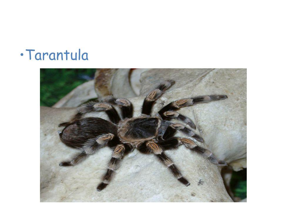 Animals of the Desert Tarantula