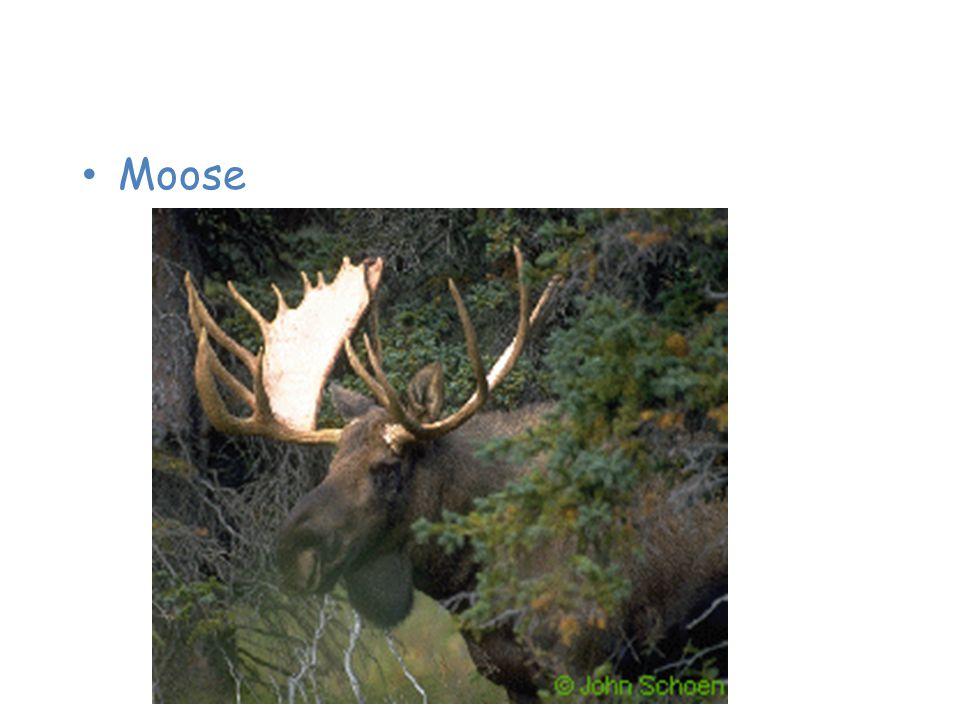 Animals of the Taiga Moose
