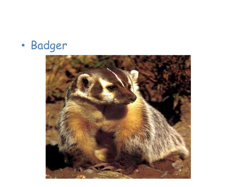 Animals of the Taiga Badger