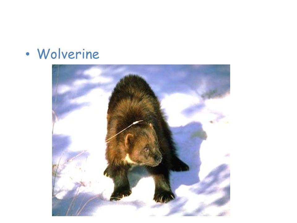 Animals of the Taiga Wolverine