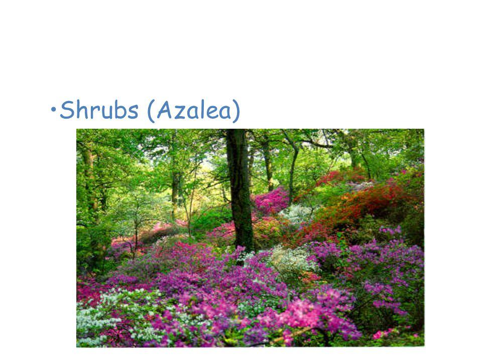 Plants of the Temperate Deciduous Forest Shrubs (Azalea)