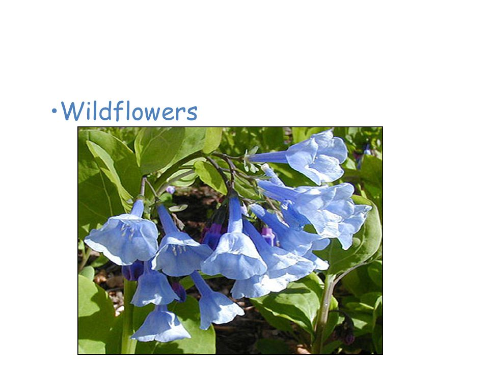 Plants of the Temperate Deciduous Forest Wildflowers