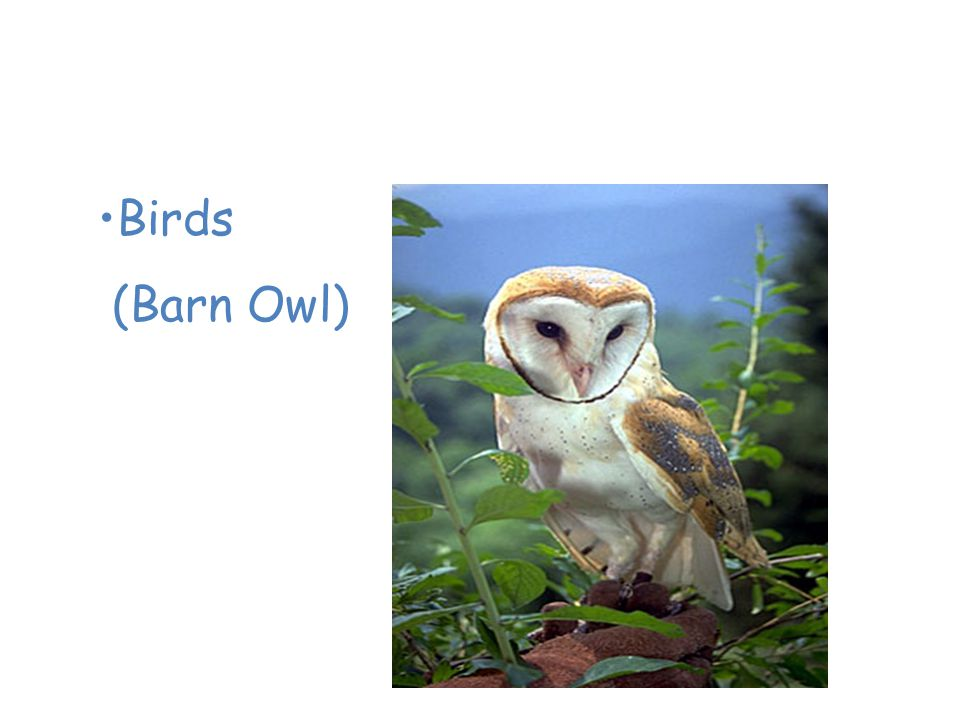 Animals of the Temperate Deciduous Forest Birds (Barn Owl)