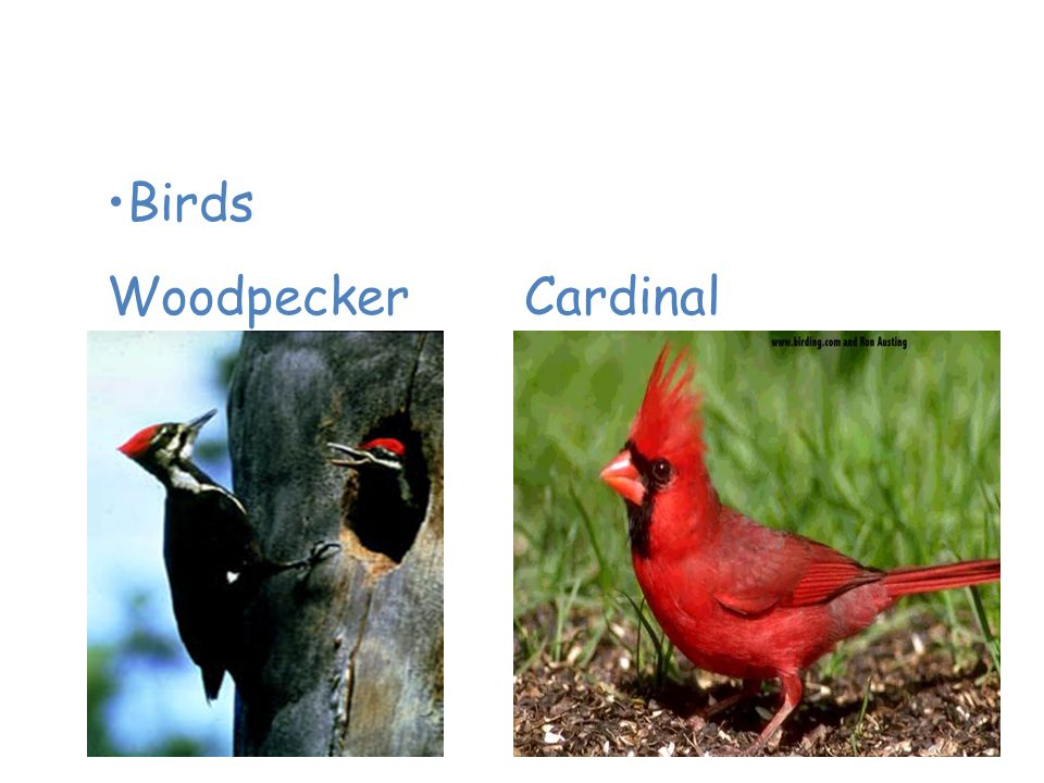 Animals of the Temperate Deciduous Forest Birds WoodpeckerCardinal