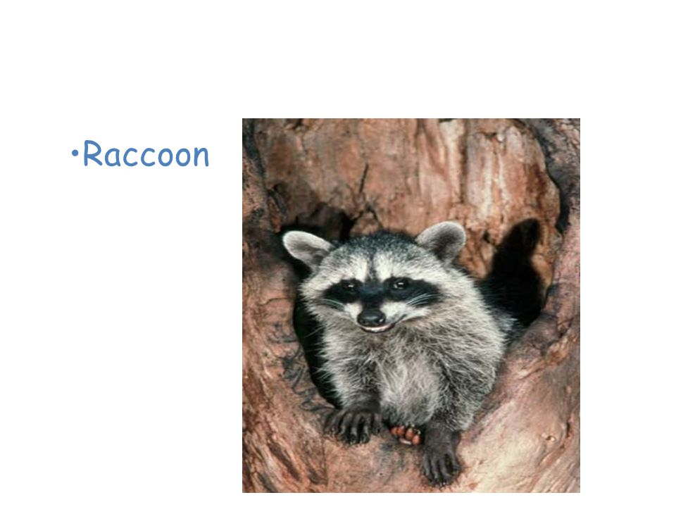 Animals of the Temperate Deciduous Forest Raccoon